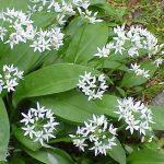 Allium ursinum